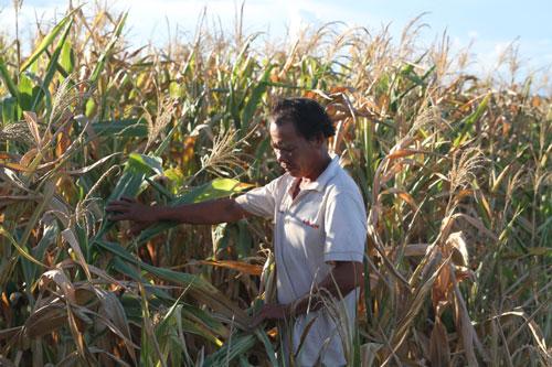 Người dân thị xã Ayun Pa bên rẫy bắp không được thu mua