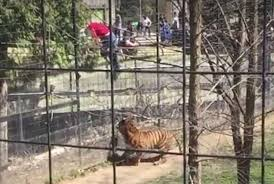 Người phụ nữ liều lĩnh leo qua hàng rào chuồng cọp. Ảnh: SCMP