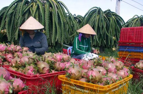 Trái thanh long là sản phẩm nông nghiệp đặc thù của Bình Thuận