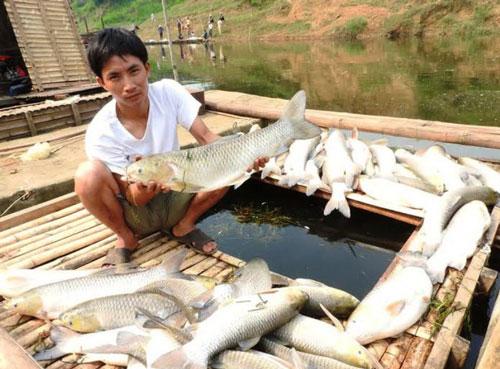Cá lồng chết trắng sông đoạn qua xã Thành Vinh, huyện Thạch Thành