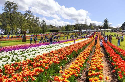 Lễ hội hoa TulipTesselaar thu hút cả triệu du khách tới Melbourne
