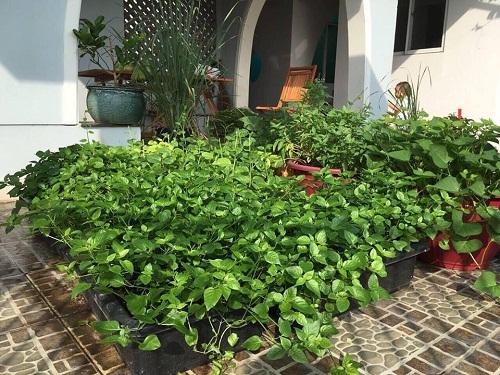Rau ngót Nhật được trồng riêng trong chậu cho lá xanh mướt, tốt tươi
