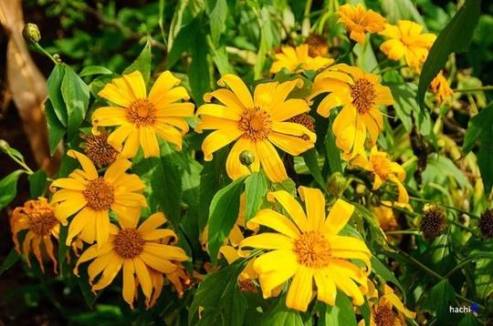 Hai bên đường đi đến thác, hoa dã quỳ mọc vàng tươi - Ảnh: hachi8