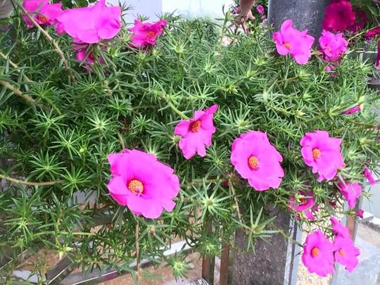 Vào mùa hè, gia đình cũng trồng nhiều chậu mười giờ, loại hoa phát triển tốt, không cần chăm sóc nhiều.