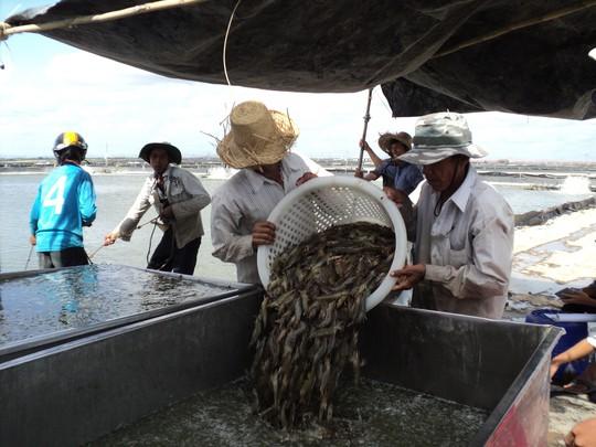 Xuất khẩu tôm của Việt Nam liên tục sụt giảm từ đầu năm. Trong ảnh: Thu hoạch tôm ở ĐBSCL Ảnh: NGỌC TRINH