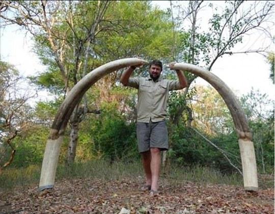 Cặp ngà khổng lồ nặng 55 kg của con vật tội nghiệp. Ảnh: Daily Mail