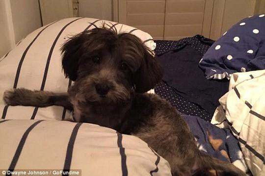 Chú chó bị bệnh tim đang chờ được phẫu thuật