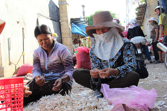 Tỏi Lý Sơn đang được người dân làm sạch bán cho thương lái - Ảnh: Trần Mai