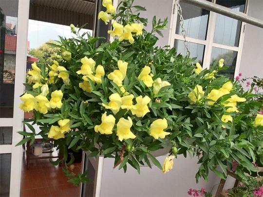 Trước đó, ông Hiếu chỉ thích những cây lâu năm như hoa giấy, mẫu đơn... Sau một thời gian, ông bị các loài hoa đỏng đảnh, khó tính hơn như dạ yến thảo, ngọc thảo, cúc Indo, thanh tú... mê hoặc bởi màu sắc rực rỡ.