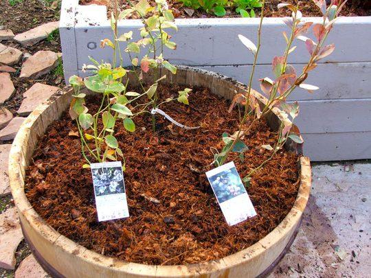 Cách trồng việt quất ra quả ngay tại nhà