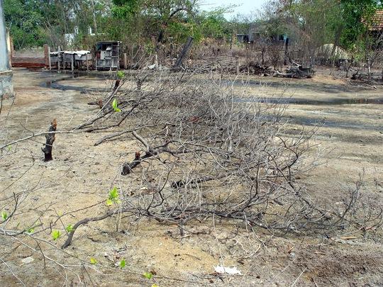 Nhiều vườn rẫy của người dân bị chết khô do đồng muối gây nhiễm mặn