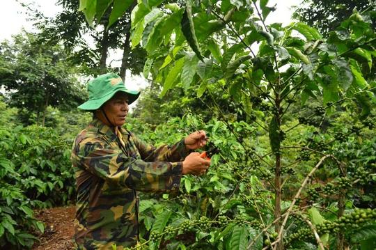 Phần lớn diện tích cây cà phê ở các công ty do người dân bỏ vốn trồng, chăm sóc nhưng vẫn phải nộp sản lượng cao