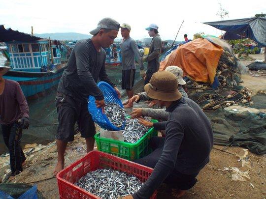 Thu mua cá cơm ở cửa Bé - TP Nha Trang