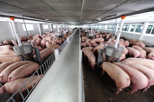 Thịt an toàn là nguồn thịt được giám sát chặt chẽ từ trại nuôi đến tay người tiêu dùng