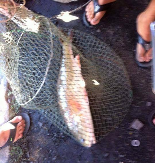 Dân đổ xô đi xem cá sủ vàng