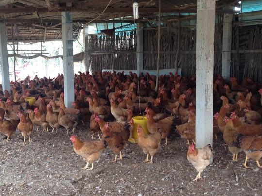 Đàn gà của nông dân ở xã Phú Ngãi Trị, huyện Châu Thành đến kỳ xuất chuồng nhưng không bán được.