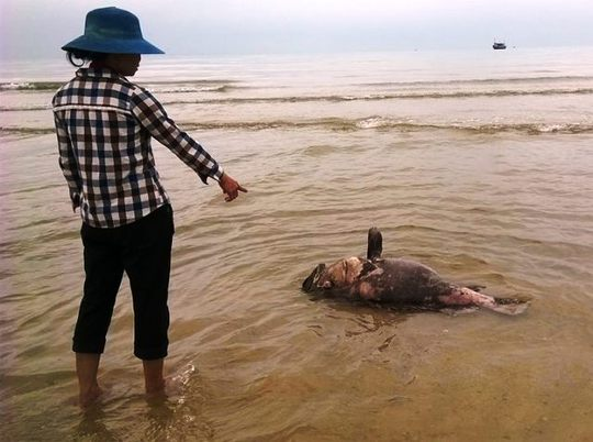 Con cá mú nặng khoảng 30 kg chết trôi dạt vào bờ biển xã Cảnh Dương, huyện Quảng Trạch