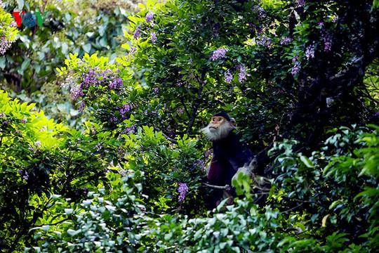 Chú voọc đầu đàn say sưa ngắm hoa trước khi ăn hoa và lá cây.