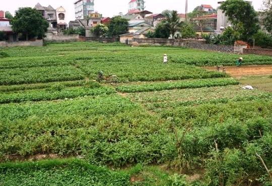 Cánh đồng rau thôn 3, xã Vĩnh Thành, nơi phóng viên VTV về dàn dựng, quay phóng sự Cây chổi quét rau sai sự thật