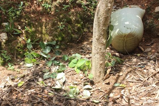 Hàng trăm gốc tiêu của gia đình bà Thanh bị kẻ xấu chặt phá bừa bãi