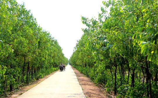Vùng rừng phòng hộ ven biển xã Điền Hương (huyện Phong Điền, Thừa Thiên - Huế) nằm trong khu vực nghiên cứu xây dựng nhà máy nhiệt điện - Ảnh: Minh Tự