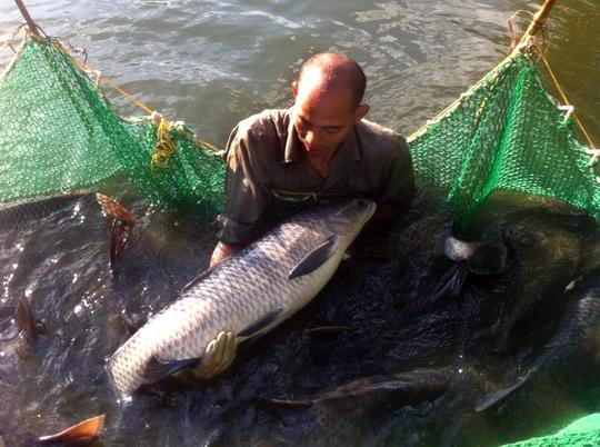 Khi thu hoạch, cá trắm đen đạt trung bình 4-5kg