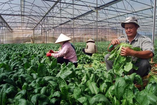 Phần lớn rau Đà Lạt được đưa đi tiêu thụ ở ngoài tỉnhẢNH: G.B