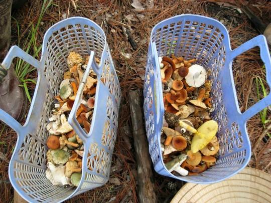Vào mùa mưa, người dân Đà Lạt vào rừng thông hái nấm để ăn hoặc bán