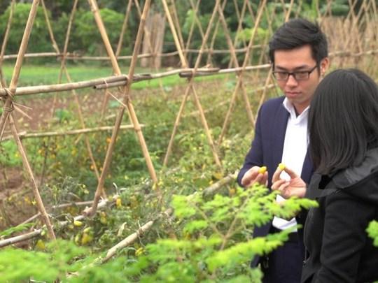 Cà chua ăn tại vườn. (Ảnh: PV/Vietnam+)