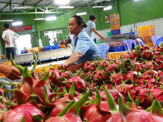 Lựa chọn thanh long trước khi sơ chế xuất khẩu đi Mỹ tại một doanh nghiệp ở Bình Thuận. Ảnh: Nguyễn Nam/tintucnongnghiep.com