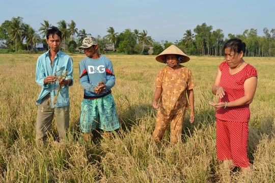 Nông dân huyện An Biên, tỉnh Kiên Giang bị thiệt hại nặng nề do lúa bị ảnh hưởng hạn mặn Ảnh: NGỌC TRINH