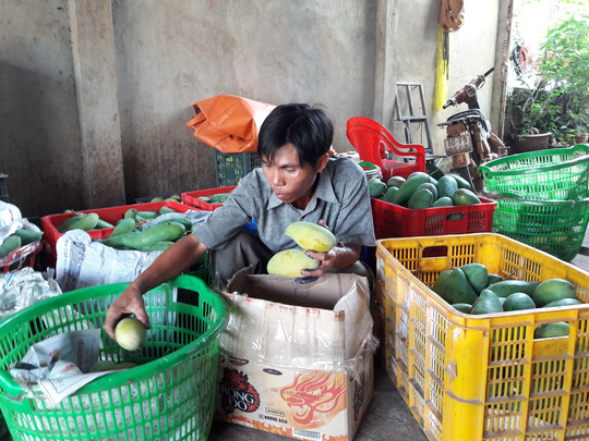 Nông dân tỉnh Đồng Nai điêu đứng vì xoài rớt giá thảm hại