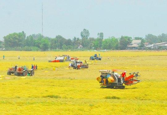 Sắp thu hoạch vụ hè thu nhưng nhiều nông dân ĐBSCL đang lo lắng giá lúa, gạo sẽ giảm mạnh khi Thái Lan xả hàng tồn kho Ảnh: THỐT NỐT