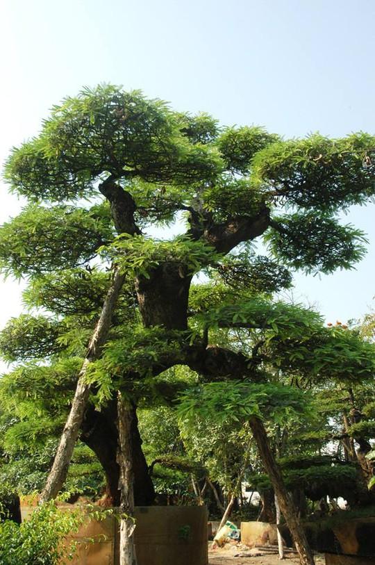 Thân cây cao tới 5 mét