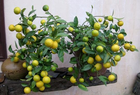 Những loại cây trồng trong chậu trĩu quả