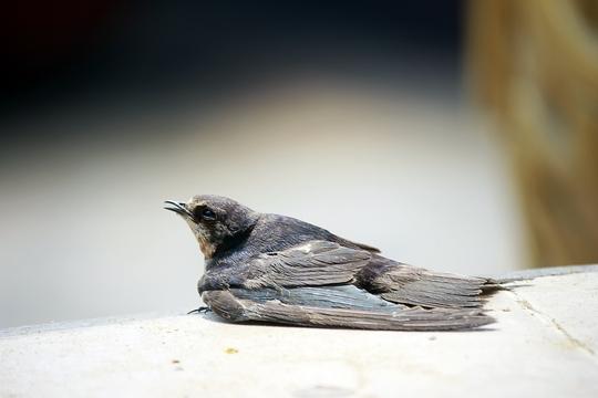 Nhưng những chú chim này đã bị bỏ đói khát không đủ sức bay xa nên lại sà xuống khuôn viên chùa.