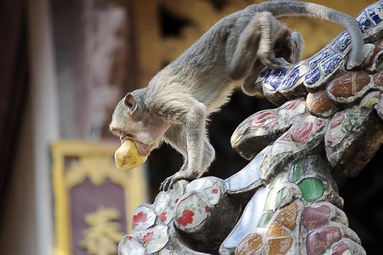 Đàn khỉ có mặt khắp chùa, trên các tán cây, dọc các con đường để kiếm thức ăn.