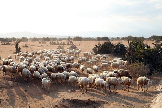 Mục đồng tranh thủ lùa dê, cừu ra đồng kiếm ăn