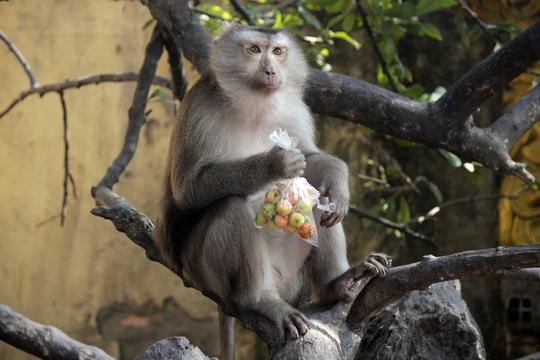 Thỉnh thoảng chúng cũng nghịch ngợm, cướp đồ ăn của khách tham quan chùa.