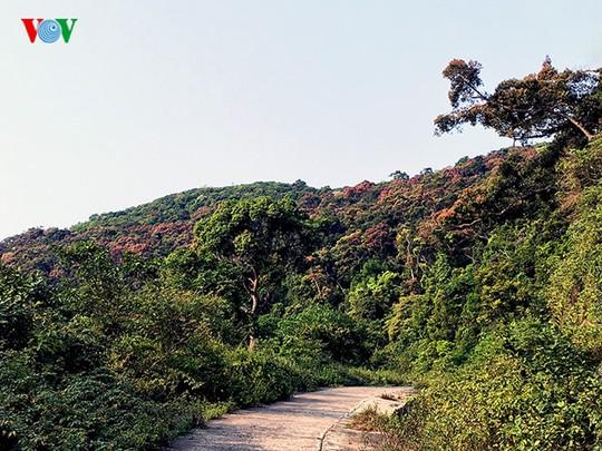 Rừng Châu Âu ở Sơn Trà với sắc đỏ của cây Chò cổ thụ.