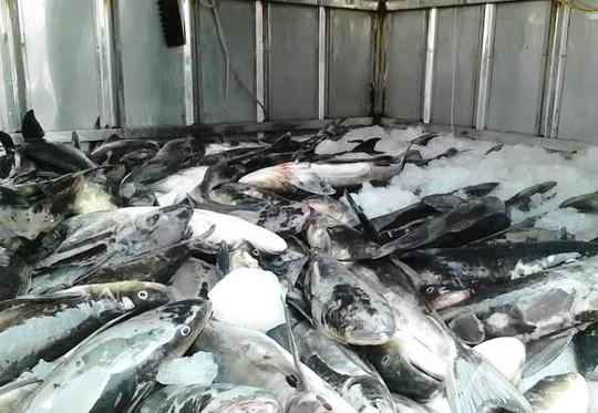 Cá lồng chết hàng loạt ở cửa biển Lạch Bạng, huyện Tĩnh Gia, tỉnh Thanh Hóa