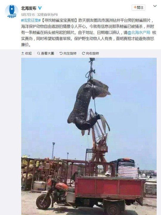 Con cá mập voi đăng trên mạng Sina Weibo. Ảnh: WEIBO