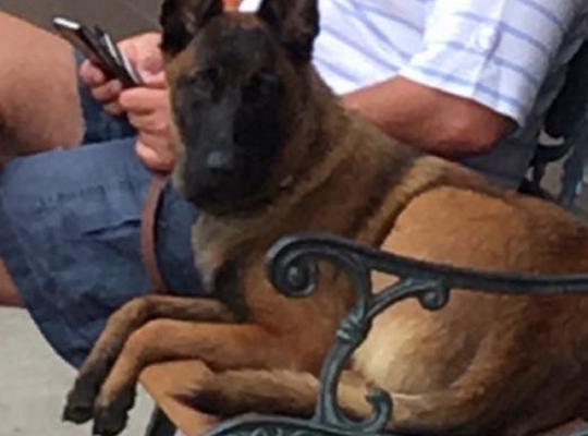 Rylee là một con chó cái thuộc giống Malinois của Bỉ. Ảnh: FACEBOOK