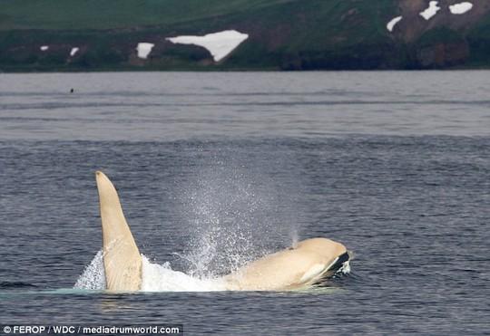Cá voi sát thủ trắng hiếm khi được nhìn thấy. Ảnh: FEROP