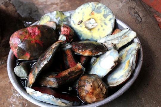 Nấm gan bò, loại nấm đặc sản thu hái trong rừng thông hiện có giá bán đắt đỏ
