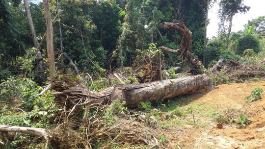 Một cây gỗ lớn đã được cắt thành lóng, chưa kịp lấy đi