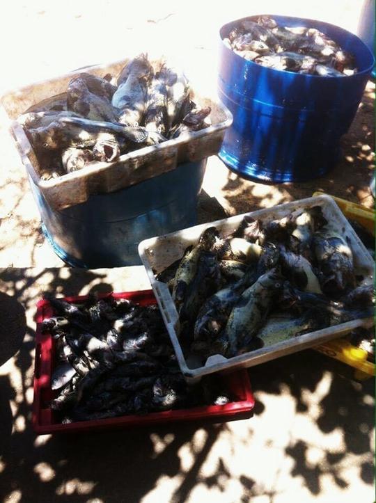 Cá nuôi lồng bè ở Khu nuôi trồng thủy sản Phú Quý bị chết nghi do hiện tượng thủy triều đỏ (ảnh Bích Dung)