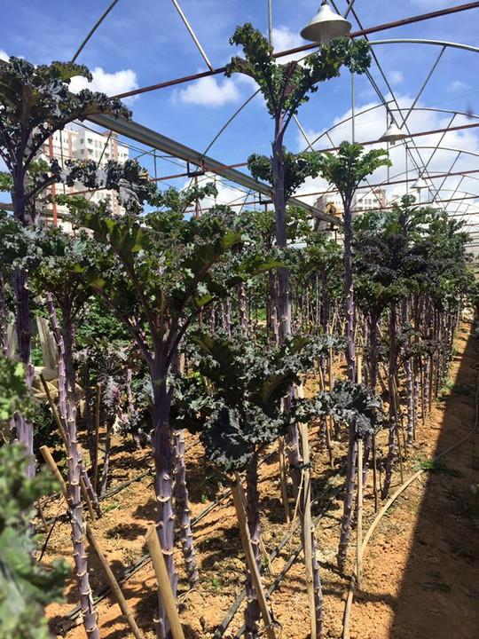 Những cây cải xoăn cao đến trên 1,5m
