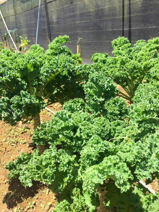 Các chủ vườn cho biết, ngày nào họ cũng được hái lá rau cải này bán cho đến khi cây già, năng suất thấp đi thì họ mới phá bỏ