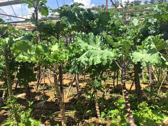 Vườn rau cải xoăn Kale ở Đà Lạt